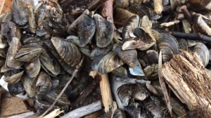 Clumps of zebra mussel shells remained scattered along the southeast shores of Lake Winnipeg Friday afternoon at Island Beach. (Photo: Josh Crabb/CTV Winnipeg)