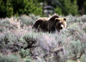 In this file photo, a grizzly bear is shown passing through a meadow in Yellowstone National Park, Mont., in June 2002. (AP / National Park Service)