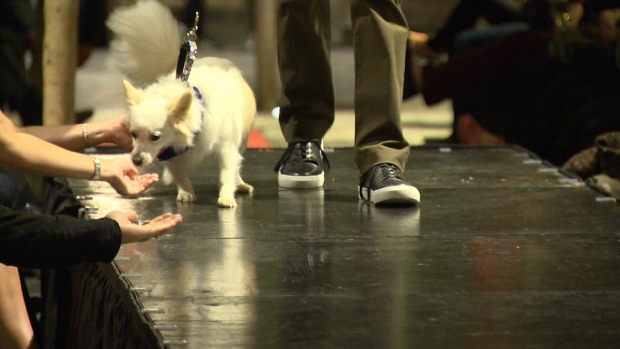 More than a dozen male models, joined by their own dogs or one available for adoption, walked the catwalk for the Man and His Dog Fashion Show with proceeds going to the Victoria Humane Society. Oct 7, 2016 (CTV Vancouver Island)