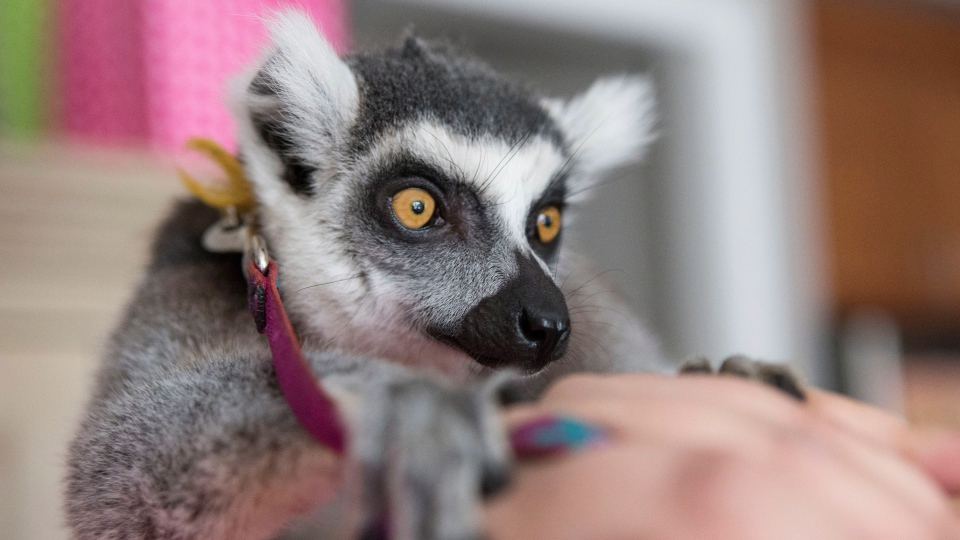 A lemur from an exotic animals company is seen at a child's birthday party in Toronto in this 2013 photo. (THE CANADIAN PRESS / Chris Young)