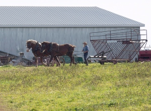 An Amish farmer takes his team back to the barn in Summerville, P.E.I., on Saturday, Oct. 8, 2016. Over the past year, eastern Prince Edward Island has become a bit of an Amish paradise, and Islanders are welcoming the new settlers with open arms. (THE CANADIAN PRESS/Andrew Vaughan)