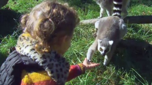 A child reaches out to a lemur at the Bowmanville Zoo on Monday, Oct. 10, 2016.