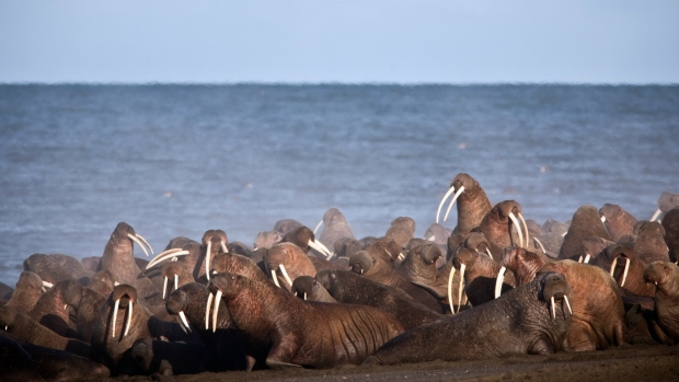 Walruses gather near Point Lay, Alaska