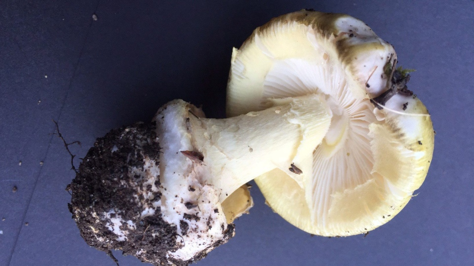 A 'death cap,' mushroom is shown in a handout photo. (THE CANADIAN PRESS/HO-Vancouver Island Health Authority)
