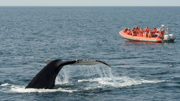 This undated photo provided by the Atlantic Canada Tourism Partnership shows whale watching in the Bay of Fundy. Several species of whales live in the Bay of Fundy and whale-watching tours run from New Brunswick and Nova Scotia all summer and into early fall. (AP Photo/Atlantic Canada Tourism Partnership)