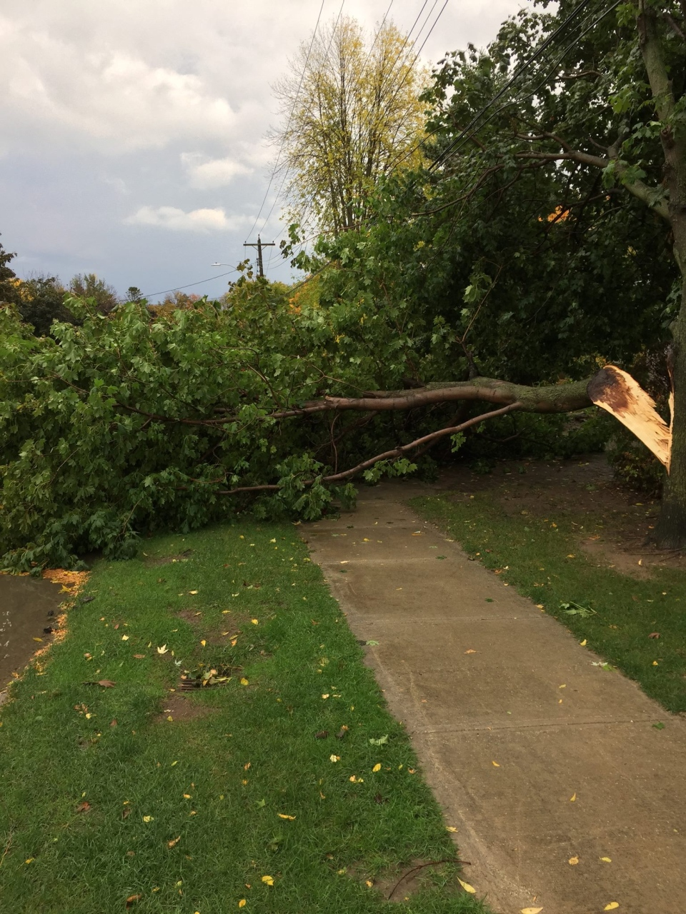 Severe weather brought down this tree in Collingwood, Ont. on Monday, Oct. 17, 2016. (Dean Sears/ Facebook)