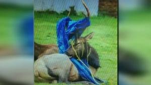 Slain elk was tranquilized, poachers warned