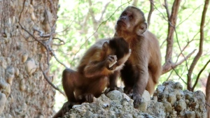 In this photo made available by the journal Nature, a young bearded capuchin monkey strikes a stone against another in the Serra da Capivara National Park in Brazil in 2014. (Michael Haslam/AP)
