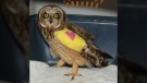 According to staff, the short-eared female owl was found by the side of the road with two severely broken bones in her left wing. (BC SPCA)