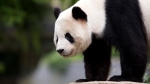 Panda cub Bao Bao, roams in an enclosure at the Smithsonian's National Zoo in Washington on Sept. 25, 2015. (Manuel Balce Ceneta/AP)