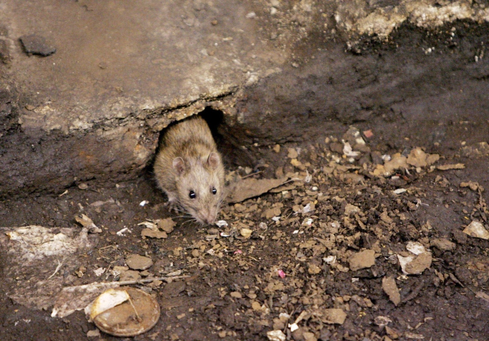 In this Dec. 12, 2005 file photo, a rat comes briefly out of its hole at a subway stop in the Brooklyn borough of New York, before retreating at the arrival of the F train.  (AP / Julie Jacobson)