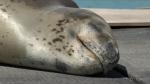Huge seal sets up residence at New Zealand Marina