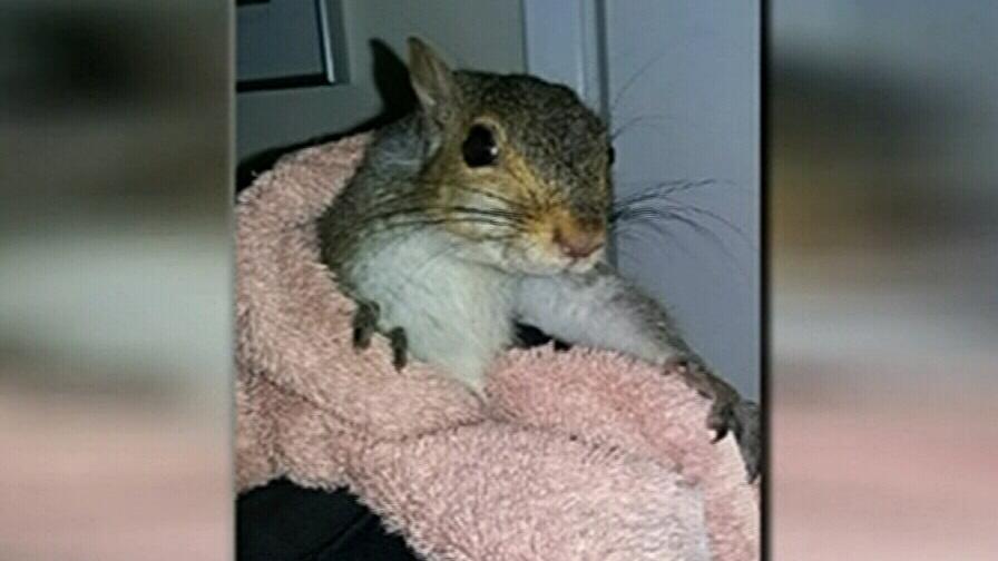 Nutty intruder: Squirrel ransacks Oak Bay home