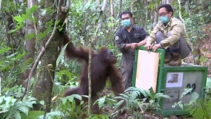 Activists open a cage to release a rehabilitated orangutan back into the wild at Kehje Sewen forest in East Kalimantan, Indonesia, on Oct. 19, 2016. (AP Photo)