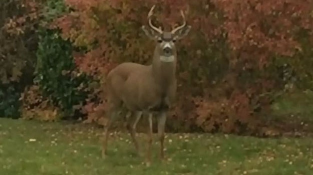 Buck is shown on Vancouver Island