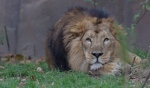 A male Asiatic Lion looks out from his enclosure at London Zoo, in London, Thursday, Oct. 27, 2016. (AP Photo/Alastair Grant)