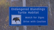 Blandings turtles