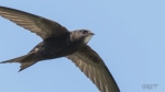 Common swift can fly for 10 months straight