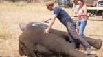 "Prince Harry while he worked in Malawi during the summer 2016, with African Parks as part of an initiative involving moving some 500 elephants over 350 kilometers (220 miles) across Malawi to replenish elephant stocks in Nkhotakota Wildlife Reserve. Prince Harry says of the picture: ""Marking one of the young males so that he is easily identifiable when the family group is released back into the bush and we can keep them together. The spray paint disappears after a few days."" (Frank Weitzer/African Parks via AP)"