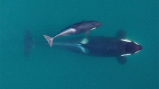 southern resident orca deaths