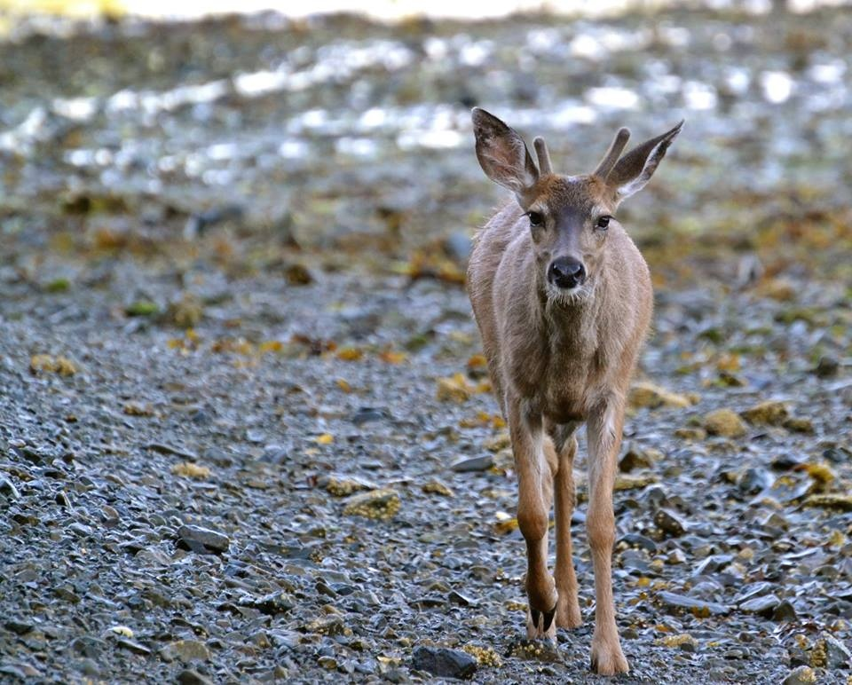 A distressed deer seen in Gale Creek apparently ingested diesel since deer often lick salt off rocks and seaweed. (Heiltsuk Nation)