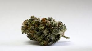 A marijuana bud is seen at a medical marijuana facility in Unity, Maine. (Robert F. Bukaty / AP)