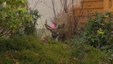 deer cull