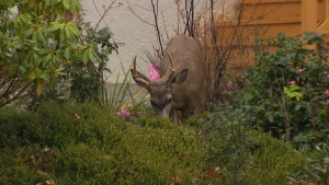 Oak Bay's experimental deer contraceptive program ended its first season in fall 2019: (CTV News)