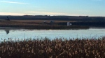 A stolen semi-truck submerged in a slough near Luseland, Sask. (ANGELINA IRINICI/CTV SASKATOON)
