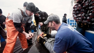 Lydia the Great White shark is tagged off the coast off Jacksonville, Fla. in a March 2013 handout photo. (THE CANADIAN PRESS/Ocearch Jacksonville Expedition/Robert Snow)