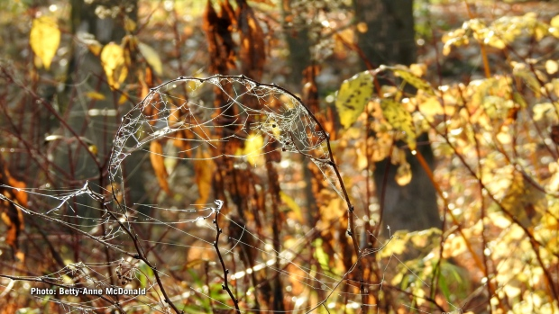 A foggy morning shows lots of cobwebs in the trees at Petrie Island. (Betty-Anne McDonald/CTV Viewer)
