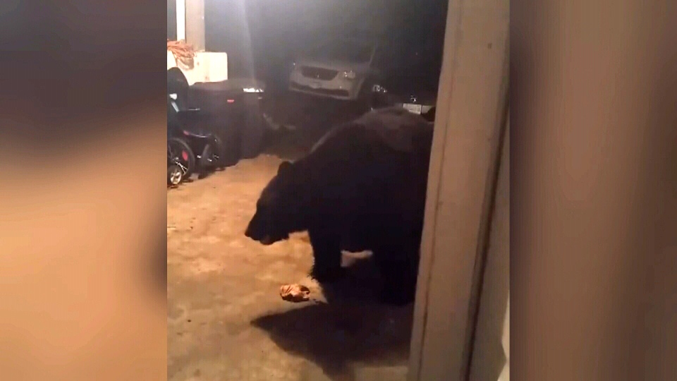 FILE PHOTO: A massive black bear dubbed 'Optimus Prime' invaded a Nanaimo couple's carport, Nov. 9, 2016. (Courtesy Kyle Edwards)