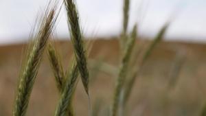Wheat in a field in Natural Bridge, Va., is seen on June 22, 2014. (THE CANADIAN PRESS / AP, Mike Stewart)