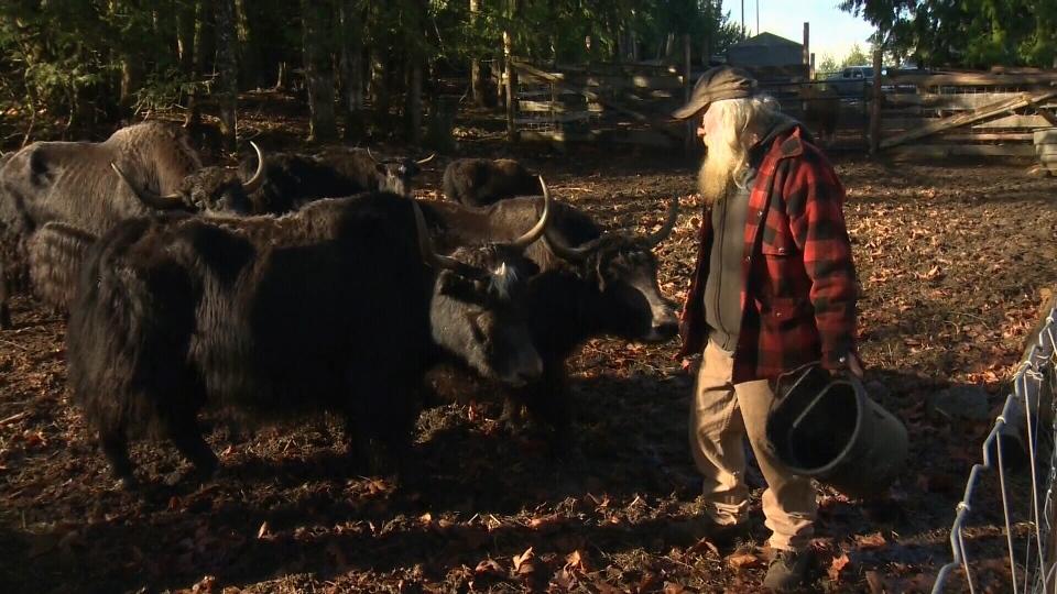 Yaks for sale: Duncan farmer selling Tibetan herd on Craigslist