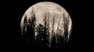 Evergreen trees are silhouetted on the mountain top as a supermoon rises over over the Dark Sky Community of Summit Sky Ranch in Silverthorne, Colo., Monday, Nov. 14, 2016. (AP Photo/Jack Dempsey)