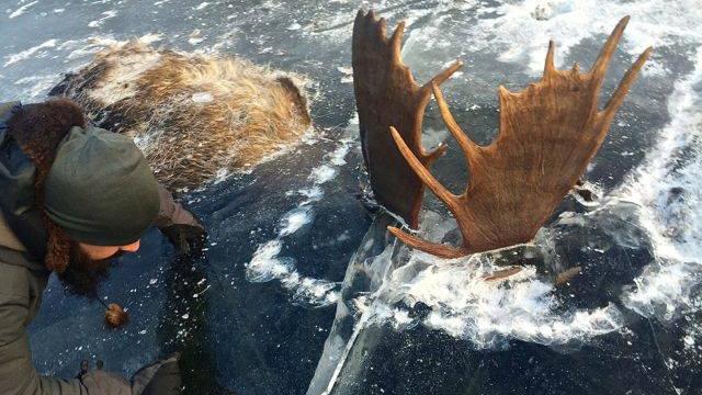 frozen moose