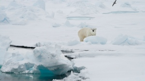 FILE - In this Friday June 13, 2008 file photo, a polar bear stands on an ice floe near the Arctic archipelago of Svalbard, Norway. (AP Photo/Romas Dabrukas, File)