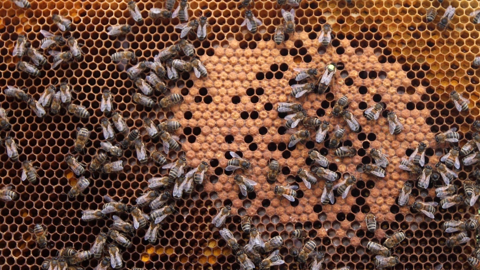 In this photo taken Monday, April 15, 2013, honey bees and the queen (with yellow dot) sit on a honeycomb in Wezembeek-Oppem near Brussels. (Yves Logghe/AP Photo)