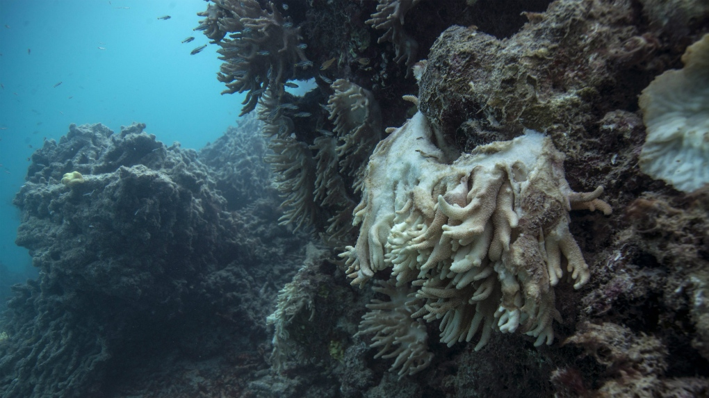Dying coral in Australia's Great Barrier Reef