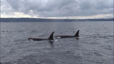Orca pipeline