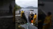 dead humpback salmon farm b.c.