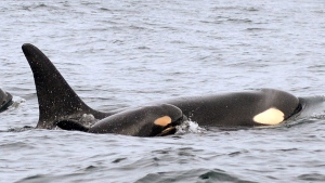 In this Wednesday, Feb. 25, 2015 photo provided by the National Oceanic and Atmospheric Administration, (NOAA) a new baby orca in a southern resident killer whale population swims alongside an adult whale, believed to be its mother, about 15 miles off the coast of Westport, Wash. (AP Photo / National Oceanic and Atmospheric Administration, Candice Emmons)