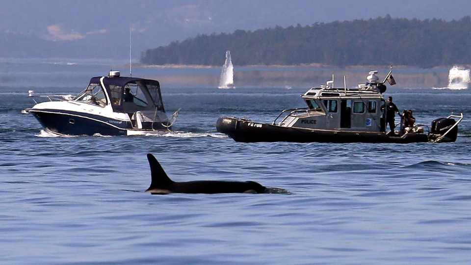 In this photo taken July 31, 2015, a NOAA law enforcement patrol boat, right, is stopped near a recreational boat going past as an orca whale swims in view in the Salish Sea in the San Juan Islands, Wash. (AP Photo / Elaine Thompson)