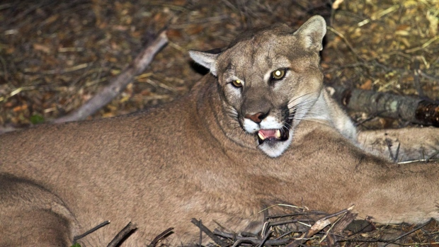 The mountain lion known as P-45