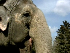 Lucy the elephant shows is seen at the Edmonton Valley Zoo in this undated file photo.