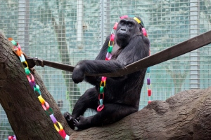 In this Dec.2012, file photo, provided by the Columbus Zoo and Aquarium, Colo, a lowland gorilla, sits in her enclosure at the zoo in Powell, Ohio. (Grahm S. Jones/Columbus Zoo and Aquarium via AP, File)