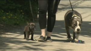 CTV Montreal: Pit bull bylaw back