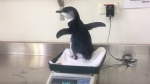 Two Australians get surprised by baby penguin