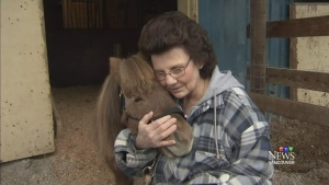 Tiny therapy horse recovers from cougar mauling