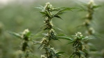 Flowering marijuana plants are pictured during a tour of Tweed in Smiths Falls, Ontario on Thursday, Jan. 21, 2016. (Sean Kilpatrick / THE CANADIAN PRESS)